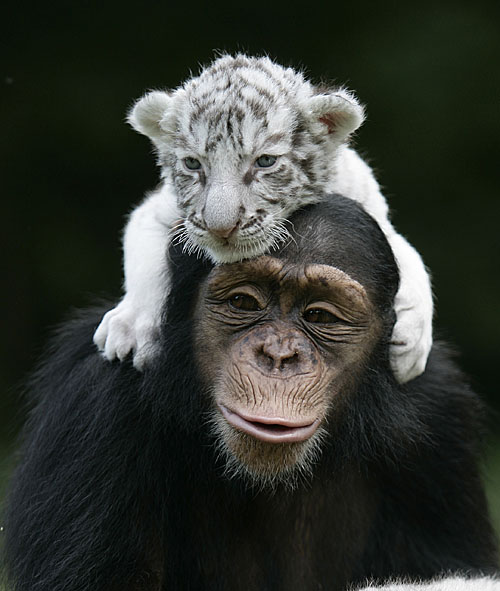 Chimp and Tiger