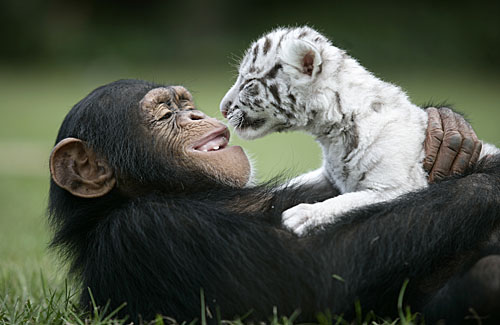 Baby_Tiger_Chimp_13