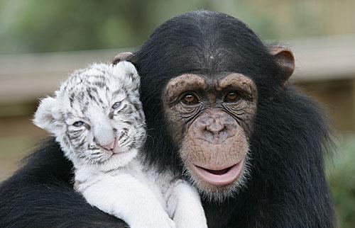 Baby_Tiger_Chimp_24