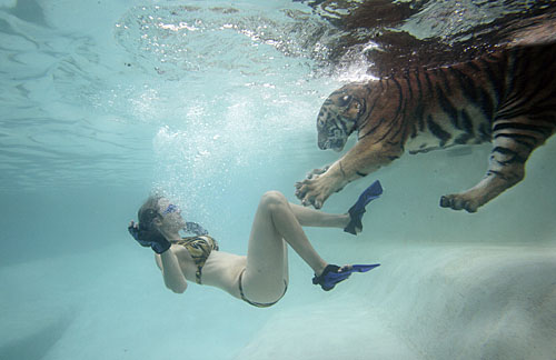 Swimming_with_Tigers_10