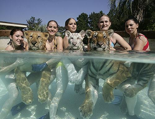 Swimming_Tiger_12