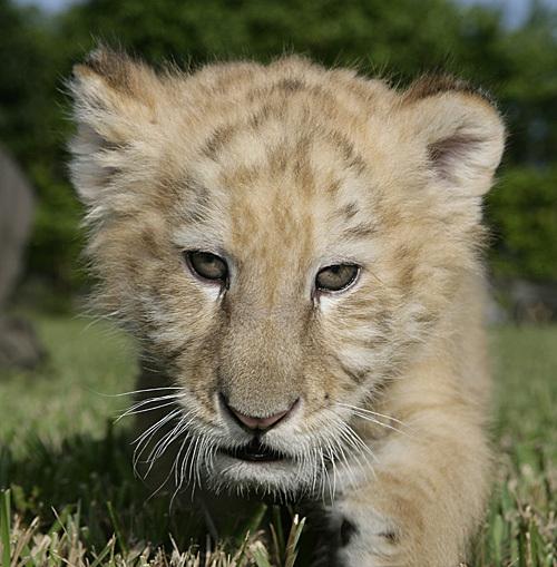 Baby_liger_04
