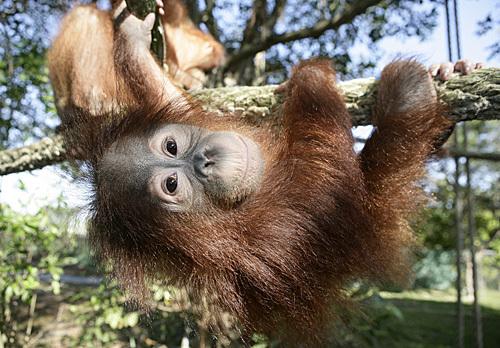 Baby_orangutan_01