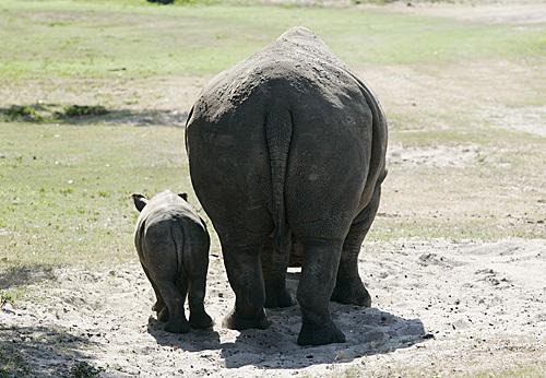 Baby_rhino_01