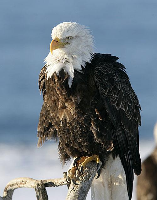 Bald_eagle_105