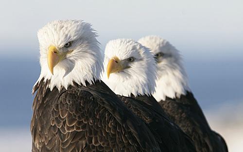 Bald_eagle_111