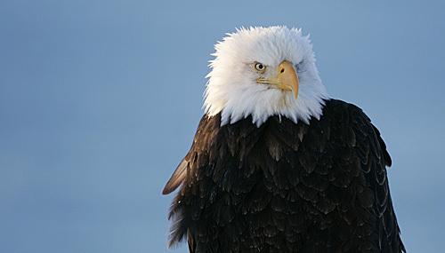 Bald_eagle_117