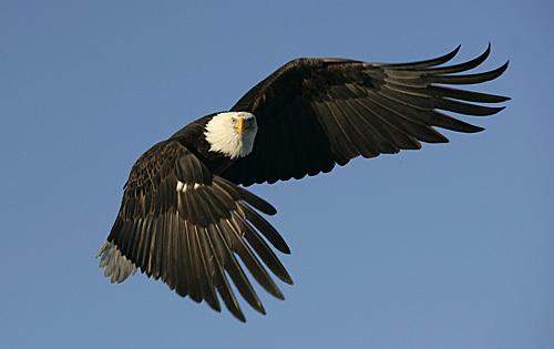 Bald_eagle_205