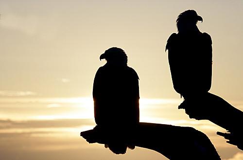 Bald_eagle_216