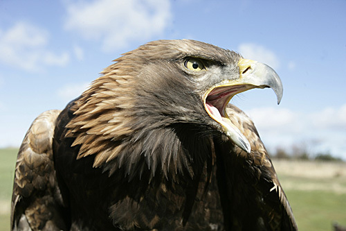 Bland_golden_eagle_14