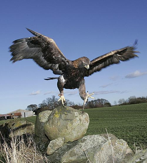Bland_golden_eagle_15