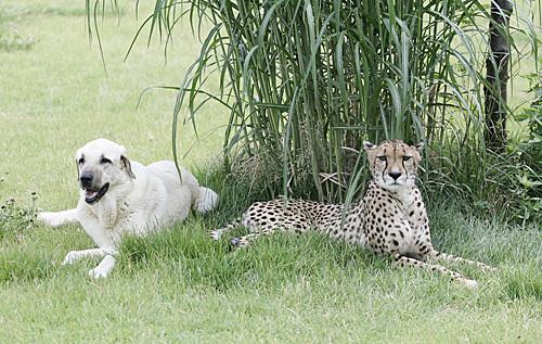 Cheetah_dog_01