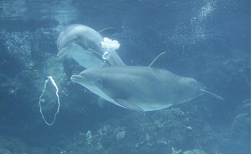 Dolphin_bubbles_11