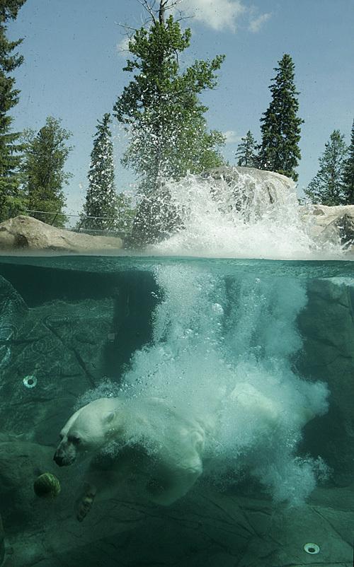 Polar_bear_jump_08