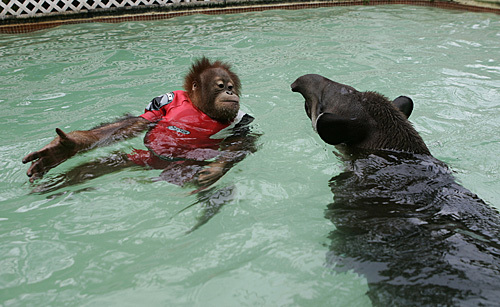Swimming_monkey_04